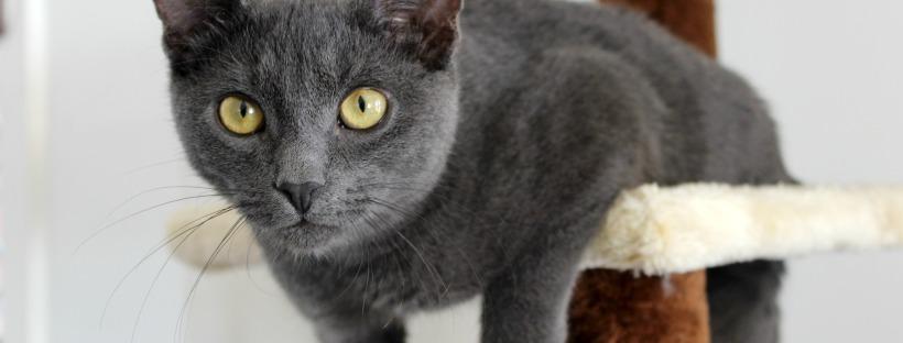 Mouse grey kitten