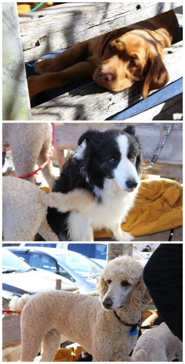 Matakana Dogs.jpg
